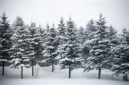 evergreen trees in snow.jpg